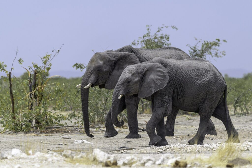 Two Elephants - A Wildlife Photography by woici